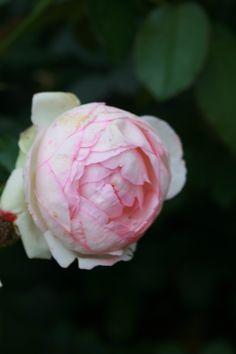rose/ roses / Сatherine park/ Catherine park /   Tsarskoye Selo /