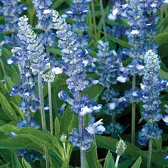 213 Best Perennials Blue Purple Images Perennials Blue Flowers