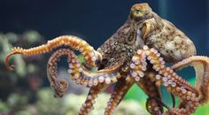In this post we bring to you some very amazing facts about octopuses.
