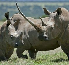 Rhinos photo by Nigel Pravitt
