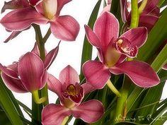 Blumenbild auf Leinwand oder Kunstdruck Cymbidium Orchidee