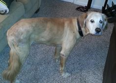 This is Samson James - 10 yrs. He was an owner surrender due to his skin allergies. He is on antibiotics & has been getting 3 baths a week & he is starting to look better. He needs to put on a few lbs. He is potty trained, rides well in a car, knows several commands & gets along with dogs. His foster is working on counter surfing. He is a sweet, loving boy looking for a forever home & is at Gold Retriever Rescue And Adoption of Needy Dogs, KY.