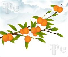 Illustration of Illustration of an orange tree branch with ripe and unripe fruit, against clouds and white background.