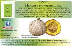 Redescubre el Mamey... con la Guía de Árboles de Puerto Rico www.verdenativopr.com