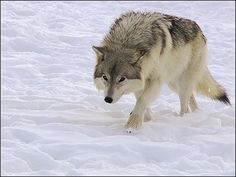 Animals in Klenovec, Slovakia (vlk wolf) - a photo by Petpaz