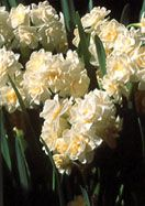 """Daffodil Erlicheer, heirloom bulb from 1934 at Old House Gardens. 5 for 13.50; 10 for $25.50; 25 for 58. """"Great outside where winters aren't too cold (zone 6 and warmer), double Early Cheer is also our favorite daffodil for winter forcing indoors on pebbles and water … It blooms in frothy clusters of 15-20 richly fragrant florets of creamy, old-lace white flecked with gold."""" 14-16"""", zones 6-9S/11WC, fresh, fat California bulbs."""