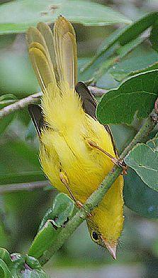 Monarca amarillo - Yellow Flycatcher - Goldrücken-Spreizschwanz - Érythrocerque jaune