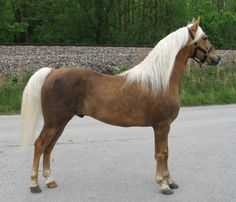 Gaited Rocky Mountain Horses for Sale from Prince Albert Stables
