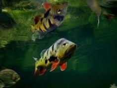 Diferencias estre carnadas de pesca de tucunare... Peacock Bass, Fishing, Polo, Animals, Gone Fishing, Polos, Animales, Animaux, Animal