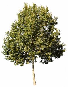 3785 x 4820 Pixels, Png. Transparent background. Platanus occidentalis American Sycamore, American Planetree, Occidental Plane; Fr: Platane d'Amérique; It: Platano americano. Deciduous tree, up to 50m high.