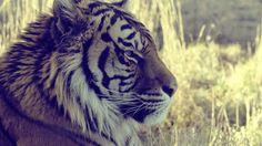 ojos de tigre hd Wallpaper