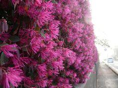 トキワマンサク(Loropetalum chinense)