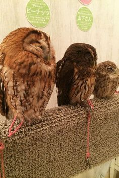 What Japans Owl Cafes Are Like   You've heard of cat cafes, but Tokyo is taking this adorable trend to the next level. Get ready to chill with owls on your next big vacation.