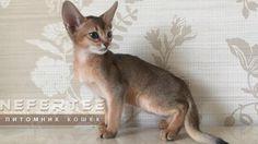 А ты себе выбрал уже абиссинского котёнка?🐱❤️👌