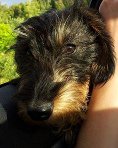 wire haired daschshund