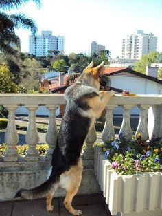5 Signs Your Dog Misses You While Youre Gone. dog misses owner American German Shepherd, German Shepherd Puppies, German Shepherds, Animals Beautiful, Cute Animals, Essential Oils Dogs, Oils For Dogs, Real Dog, Schaefer