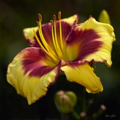'Fame' Daylily just planted some if these