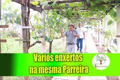 Parreira dos Sonhos com vários tipos de uva, enxerto verde entenda, qual...