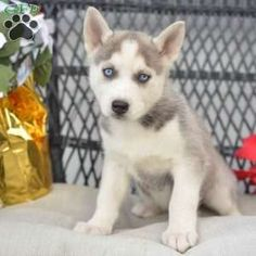 dog breeds Siberian Husky Puppy in Millersburg, OH - Siberian Husky puppies for sale! These fluffy, loving, and playful Siberian Husky puppies are a versatile working class Spitz breed which makes a great family pet! Husky Puppies For Sale, Siberian Husky Puppies, Husky Puppy, Cute Puppies, Cute Dogs, Dogs And Puppies, Siberian Huskies, Detective, Baby Animals