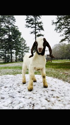 Show Goats, Cute Animals, Dogs, Fun, Pretty Animals, Cutest Animals, Pet Dogs, Cute Funny Animals, Doggies