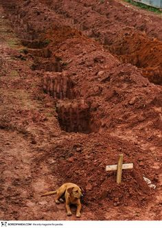 """A dog named """"Leao"""" sits for a second consecutive day at the grave of her owner, who died in the disastrous landslides near Rio de Janiero in 2011."""
