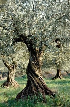 Weird Trees, Unique Trees, Old Trees, Tree Leaves, Tree Forest, Olive Tree, Tree Art, Trees To Plant, Bonsai