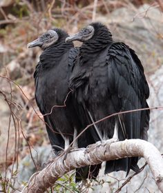 American black vultures (Coragyps atratus). Along the Potomac river, near Great Falls, Virginia/Maryland border, USA.