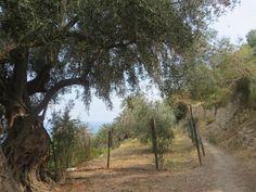 Bordighera (IM) sentiero del Beodo (antico canale) -un ulivo ultracentenario
