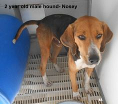 ***SUPER SUPER URGENT!!!*** - PLEASE SAVE NOSEY!! - EU DATE: 9/6/2014 -- Nosey Breed:Beagle Age: Young adult Gender: Male Size: Small -  Call Silvia and Debbie now,,,,,Silvia is 910-876-0539 and Debbie is 339-832-0806. If Silvia's mailbox is full you can Text her. Transportation is generally available up and down the East Coast from NC, VA, MD, NJ, PA, NY and the North East