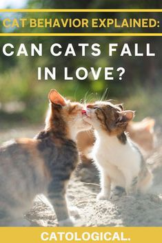 Can cats fall in love with each other, with their pet parents, or with something else? Kitty love is different than human love, but how different? #catbehaviorexplained #catfacts #catblog #catlovers Cat Behavior, Cat Facts, Cat Health, Siamese Cats, Interesting Facts, Cat Breeds, Falling In Love, Cat Lovers, Dog Cat