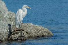 Guide to Watching Herons and Egrets in California: Great Egret at Elkhorn Slough
