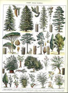 Vintage FOREST TREES poster - Vintage Botanical Print - 1930. $14.00, via Etsy.