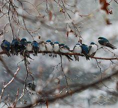 sweet little winter blue birds cuddling up on a branch <3