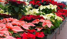 Poinsettias galore at Nick's in many colors and sizes.
