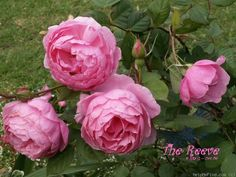 'The Reeve ®' rose photo