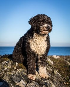 Image result for portuguese water dog tumblr