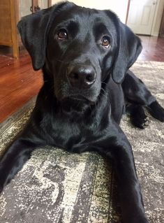 Black Labs Dogs, Black Lab Puppies, Cute Dogs And Puppies, Doggies, Schwarzer Labrador Retriever, Black Labrador Retriever, Silver Labrador, Black Labrador Dog, Beautiful Dogs