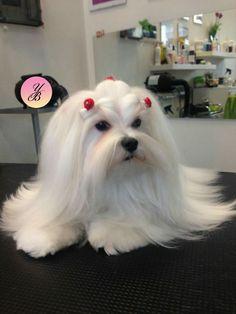 Maltese love puppy happy Sunday