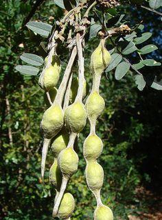 ^Sophora macrocarpa, pods