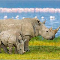 endangered white rhinos.