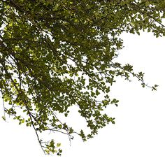 A closeup, cutout photo of green tree leaves and branches well suited for a foreground vignette use.