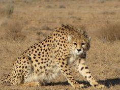 Unique Animals, Cute Animals, Asiatic Cheetah, Cheetahs, Wild Life, Patio Design, Big Cats, Neko, Pet Birds