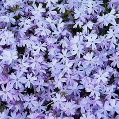 Purchase our Blue Carpet Phlox. This carefree wonder quickly blankets even tough problem areas with dense evergreen foliage and thousands of colorful blooms... Ground Cover Plants, Blue Flowers, Plants, Creeping Phlox, Perennials, Winter Plants, Summer Plants, Fall Plants, Flower Landscape
