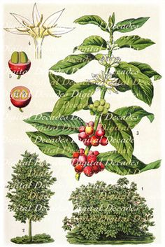Coffee Kaffee Botanical Plant  Digital Vintage by DigitaIDecades, $2.00