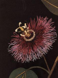 Mary Delany (1700 - 1788) - Botanical Illustrations, passion flower illustration