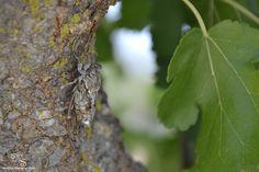 cicada, Greece
