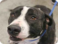 URGENT!!!**Mesa, AZ - Pit Bull Terrier Mix. Meet WICHITA a Dog for Adoption.WICHITA Breed: Pit Bull Terrier Mix Color: Unknown Age: Adult Size: Med. 26-60 lbs (12-27 kg) Sex: Male ID#: 6729958-A3428685 Maricopa County Animal Care & Control East Valley Animal Care Center