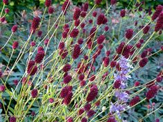 And it's a California native (plus native lots of other places, too!) ok ... so I notice this plant in my last 2 pins and have to research it! Oh ... the wonder of Pinterest!!! Sanguisorba officinalis. For sale at Digging Dog Nursery  $7.25