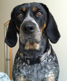 Bluetick dogs are dogs with a distinct blue-like coat. Description from dogbreedspicture.net. I searched for this on bing.com/images