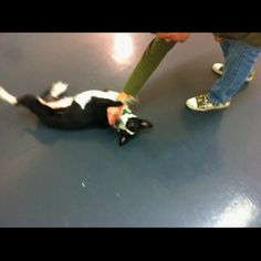 Tabitha learns roll over. Dog Classes, Ferret, Learning, Dogs, Animals, Animales, Animaux, Ferrets, Doggies